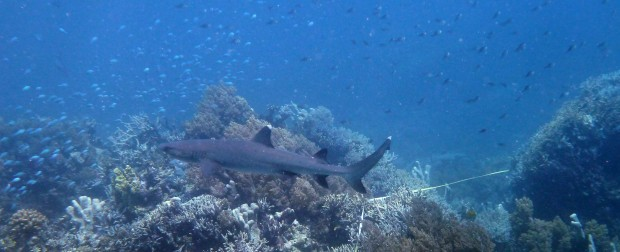 Whitetip shark with an RLS transect